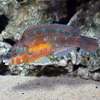 Caribbean Striped Parrotfish Terminal Phase Male (click for more detail)