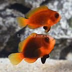 ORA® Captive-Bred Naked Cinnamon Clownfish (Select Pair) (click for more detail)