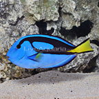 Vanuatu Extra Large Blue Tang (click for more detail)