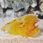 Leaf Fish Yellow (click for more detail)