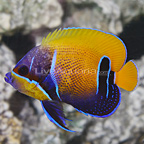 Blue Girdled Angelfish Adult (click for more detail)