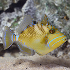 Caribbean Queen Triggerfish (click for more detail)