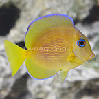 Caribbean Blue Tang Juvenile (click for more detail)