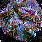 Open Brain Coral Indonesia (click for more detail)