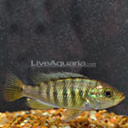 Nyererei Cichlid  (click for more detail)