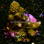 Digitate Acropora Coral Indonesia (click for more detail)