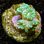 Trumpet Coral Indonesia (click for more detail)
