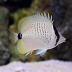 Biota Captive-Bred Milletseed Butterflyfish (click for more detail)