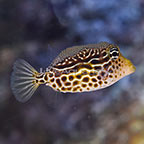 Scribbled Trunkfish Female EXPERT ONLY (click for more detail)