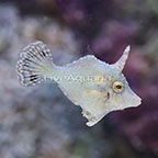 Biota Captive-Bred Bristletail Filefish (click for more detail)