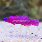 USA Captive-Bred Orchid Dottyback (click for more detail)