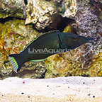 Green Bird Wrasse [Blemish] (click for more detail)