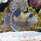 Blueline Triggerfish  (click for more detail)