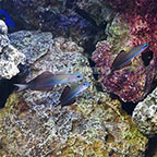 Scissortail Dartfish (Trio) (click for more detail)