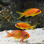 Lyretail Anthias (Trio) (click for more detail)