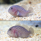 Spotted Coral Croucher (Bonded Pair) (click for more detail)