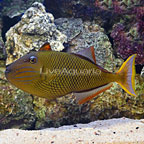 Crosshatch Triggerfish Female (click for more detail)