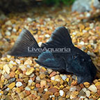 Blue Panaque (L-239) Plecostomus (click for more detail)