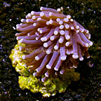 Torch Coral Indonesia (click for more detail)