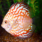 Red Pigeon Blood Discus [Blemish] (click for more detail)