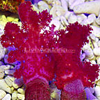Carnation Tree Coral [Expert Only] (click for more detail)