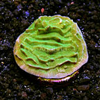 LiveAquaria® Green Pachyseris Coral (click for more detail)