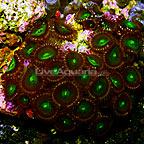 Green People Eaters Colony Polyp Rock Zoanthus Indonesia IM (click for more detail)