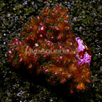 Pocillopora Coral Fiji (click for more detail)