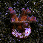 Stylophora Coral Fiji (click for more detail)