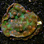 Chalice Coral Indonesia (click for more detail)