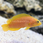 ORA® Captive-Bred Yellow Dottyback (click for more detail)