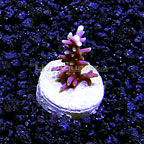 DFS Pacman Acropora Coral (click for more detail)
