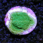 USA Cultured Ultra Montipora Coral (click for more detail)