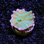 DFS Long Polyp Turbinaria Coral (click for more detail)