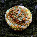 LiveAquaria® Meteor Shower Cyphastrea Coral (click for more detail)