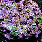 Green Stardust People Eater Colony Polyp Rock Zoanthus Indonesia IM (click for more detail)