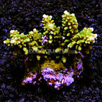Branching Acropora Coral Indonesia (click for more detail)