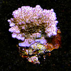 Tabling Acropora Coral Indonesia (click for more detail)