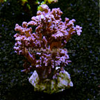 Litophyton Tree Coral Indonesia (click for more detail)