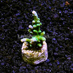 DFS Neon Wintergreen Branching Acropora Coral (click for more detail)