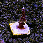 TCN Tyree Ultimate Branching Acropora Coral (click for more detail)