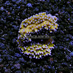 ORA® Melonberry Montipora Coral (click for more detail)