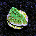 DFS Chili Pepper Plating Montipora Coral (click for more detail)
