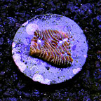 USA Cultured Lithophyllon Coral  (click for more detail)