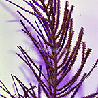 Cultured Purple Bipinnate Sea Fan (click for more detail)