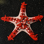 Knobby Red Sea Star (click for more detail)
