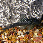 Blue Phantom (L-128) Plecostomus (click for more detail)
