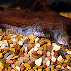 Reynold's Longnose Cory Catfish (Pair) (click for more detail)
