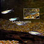 Longfin Congo Tetra (Group of 5) (click for more detail)
