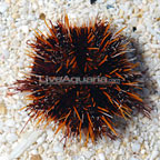 Halloween Urchin (click for more detail)